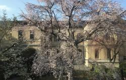 京都府庁旧本館中庭の桜