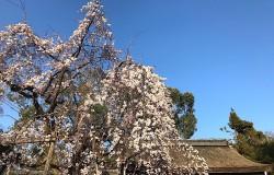 平野神社魁桜